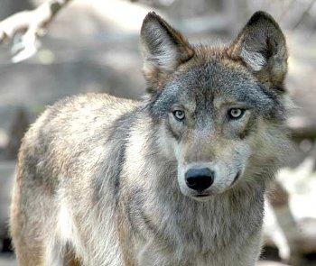 Un weekend alla scoperta del lupo con il progetto Ibriwolf: il programma delle iniziative