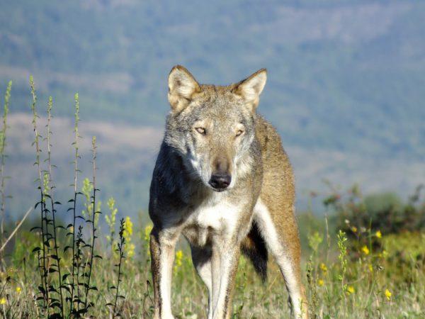 Lupi, al via il nuovo bando per riconoscimento danni da predazione