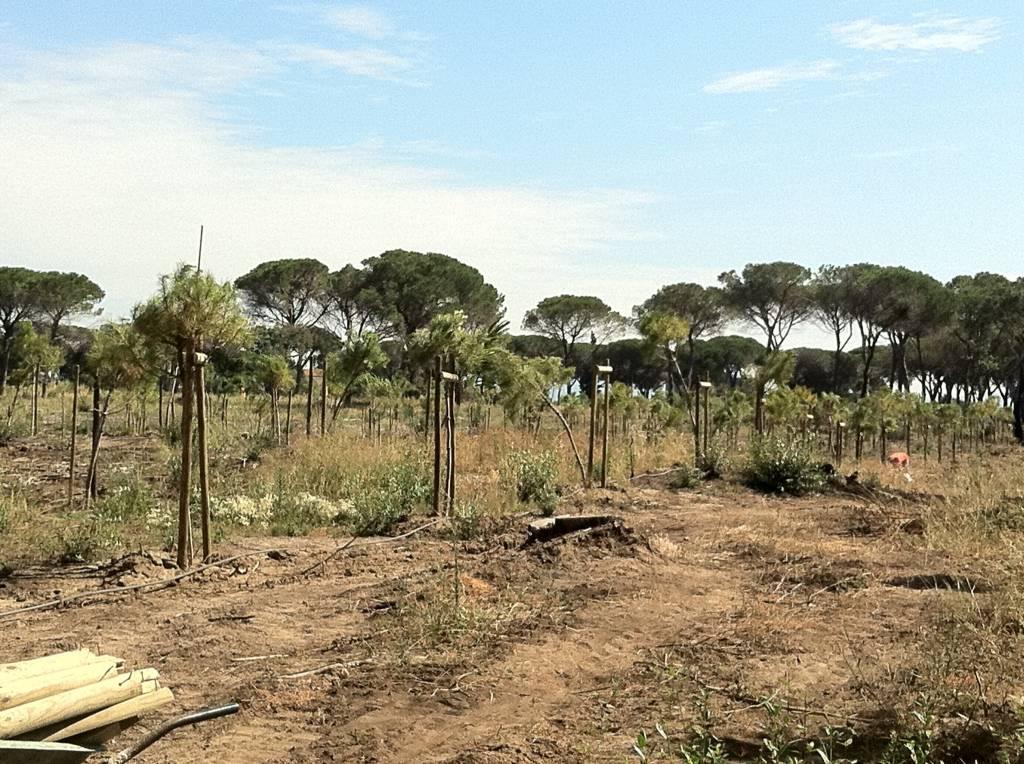 Giovedì a Marina si presenta il piano per salvare i pini delle aree a verde pubblico