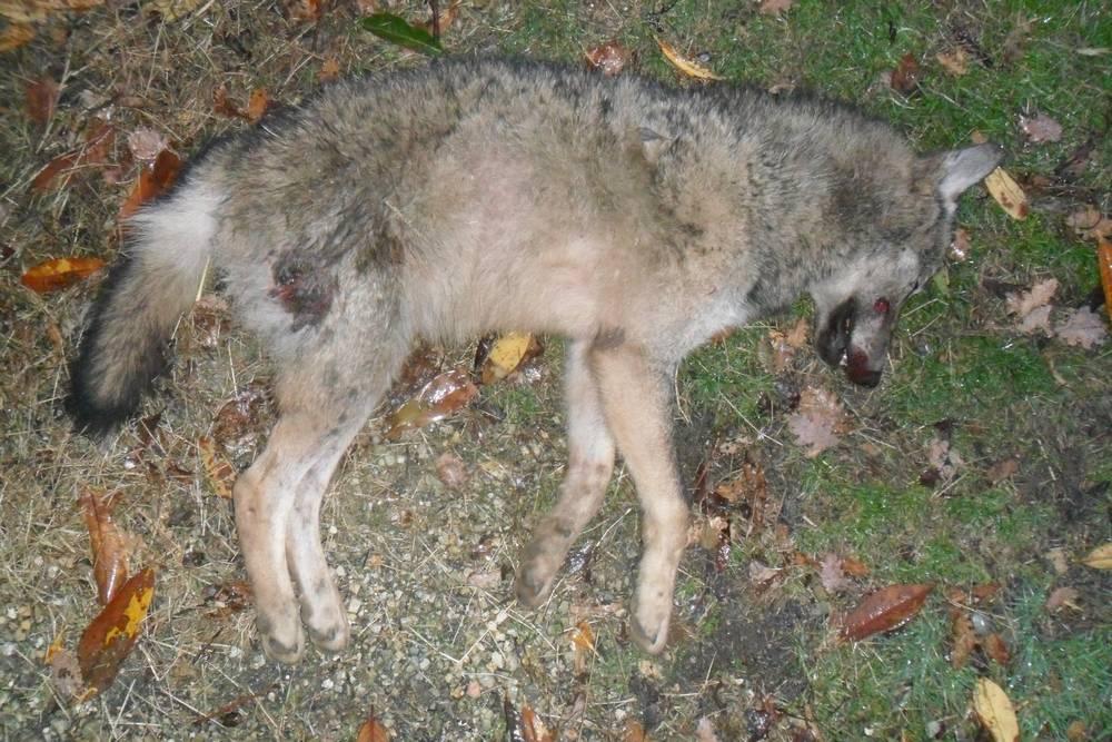 """Photo of Predatori uccisi, la Lav scrive a Prefetto e Questore: """"Servono indagini urgenti e approfondite"""""""