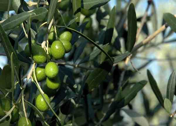 """Olio di oliva straniero, Coldiretti: """"Bene dogane/Unaprol"""""""