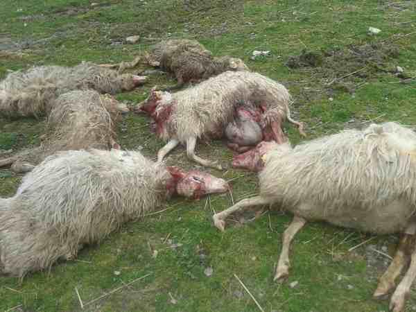 Photo of Nuovo attacco alle greggi in Maremma: due pecore morte, un'altra gravemente ferita