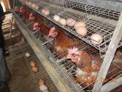 Scoperto lager di galline e conigli: denunciato allevatore