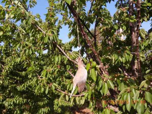 Uccide uccelli e li appende agli alberi: denunciato bracconiere