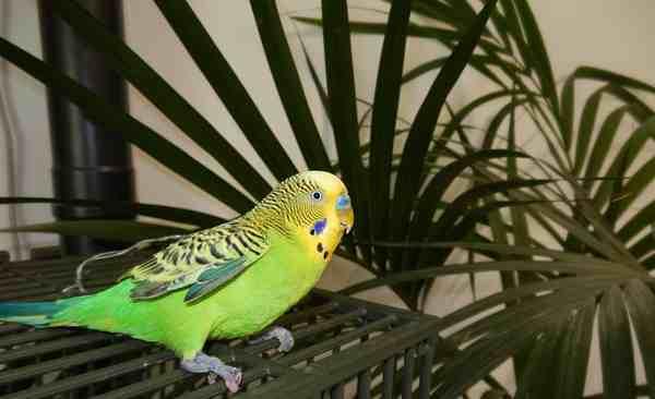 Grosseto, chiede l'elemosina con un pappagallo spennato: denunciato