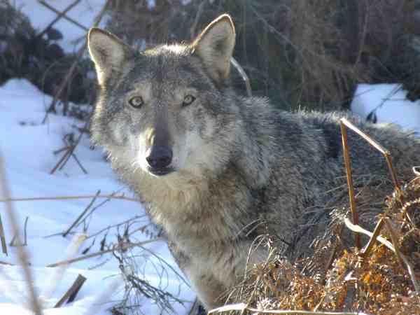 """Danni dei predatori alle greggi, Coldiretti scrive alla Regione: """"Attuare subito il Piano lupo"""""""