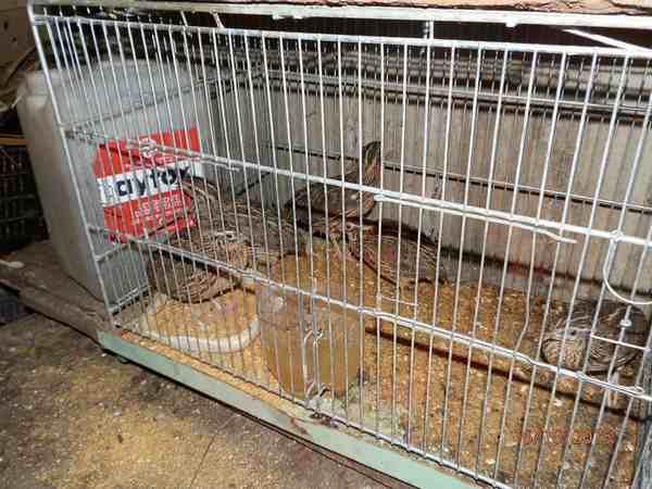 Catturava uccelli e chiudeva il gatto nella gabbia per farli mangiare vivi: denunciato cacciatore