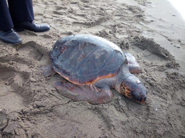 Tartaruga spiaggiata a principina a mare salvata dalla for Contenitore tartarughe