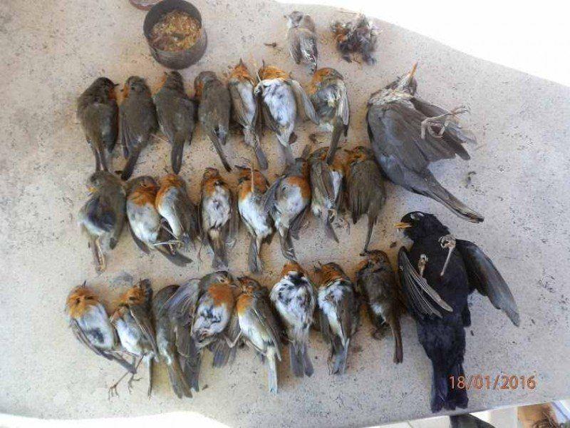 A caccia con le tagliole fa strage dipettirossi: denunciato