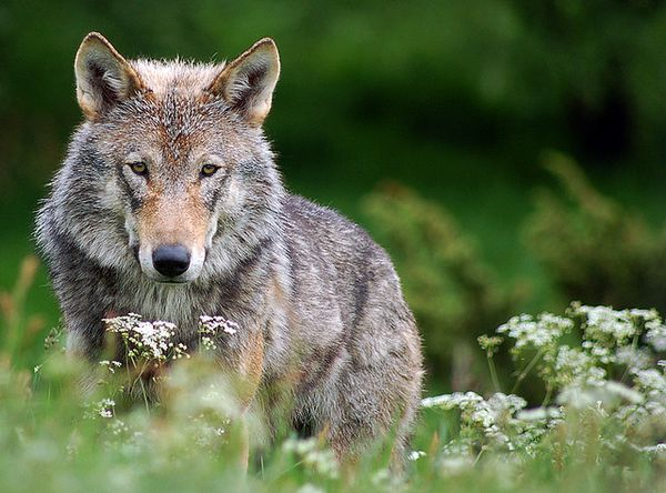 Si inventa di essere stato morso da un lupo: cacciatore denunciato per procurato allarme