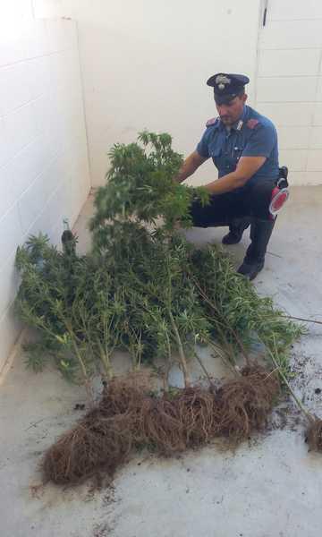 Photo of Coltiva piante di marijuana nel podere: arrestato 60enne