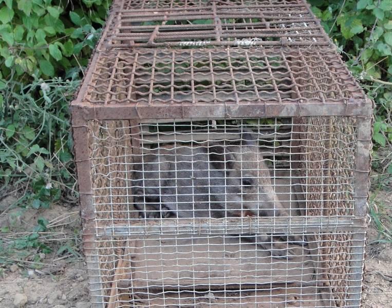 Photo of Cucciolo di cinghiale catturato da bracconiere: uomo denunciato