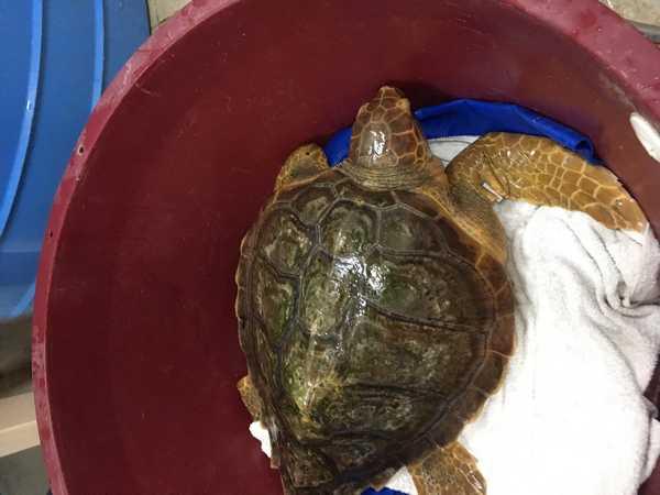 Augusta torna in mare: la tartaruga marina liberata al largo di Talamone