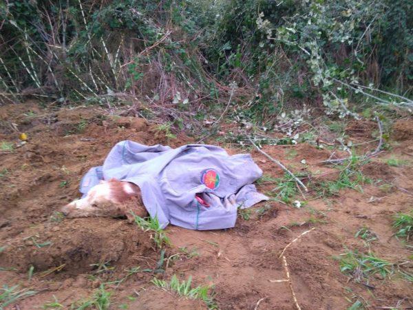 Photo of Branco di pastori maremmani aggredisce cani e cacciatori: denunciati i proprietari