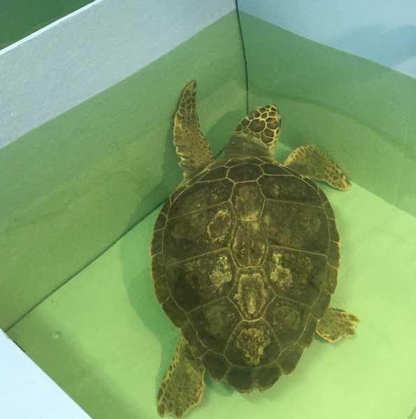 Il centro recupero tartarughe marine sarà potenziato. Olivastra liberata in mare