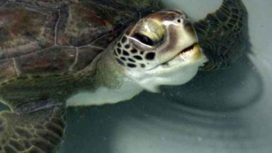 "Photo of Tartaruga marina finisce in una rete da pesca, curata da TartAmare: ""Esemplare mai visto"""